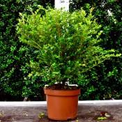 Buxus Microphylla Faulkner 40/45cm