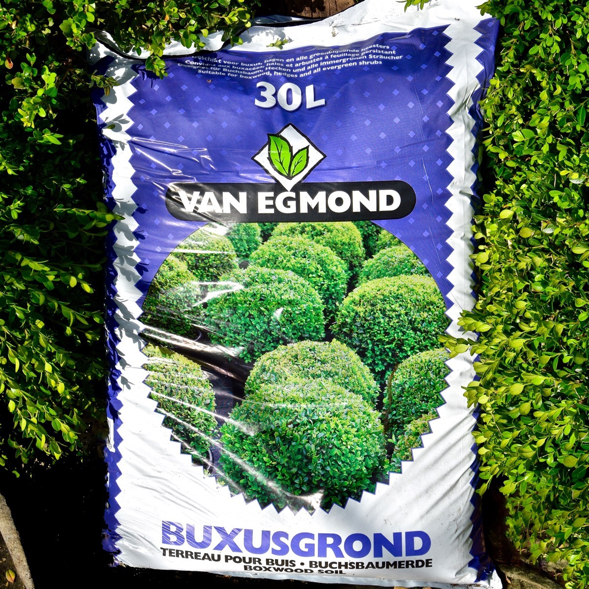 Buxus grond