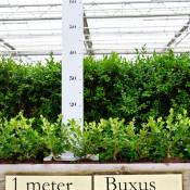 kleinste-buxus-met-meter-plak-potjes-verhoogd