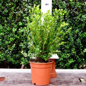 Microphylla Faulkner 30/40cm