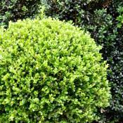 Buxus microphylla Faulkner faulkb50 3