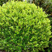 Buxus microphylla Faulkner faulkb60 2