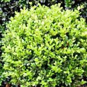Buxus macrophylla Faulkner 35CM