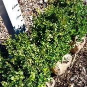 Buxus Microphylla Faulkner 40CM