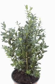Buxus sempervirens Hollandia
