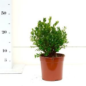 Buxus Green Velvet 15cm