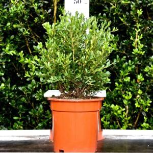 Buxus Green Velvet 20-25CM
