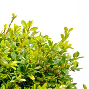 Buxus Microphylla Rococo