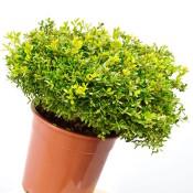 Buxus Microphylla Rococo