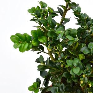 Buxus sempervirens Rotundifolia