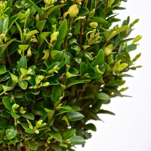 Buxus Sempervirens Green Balloon / Like, deel en win
