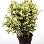 Buxus Sempervirens Elegans