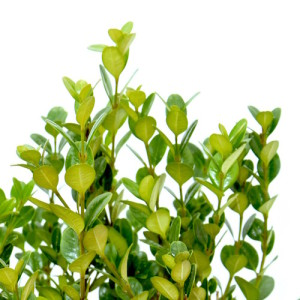 Buxus microphylla Faulkner