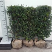 Heg90cm-Buxus Sempervirens Hollandia
