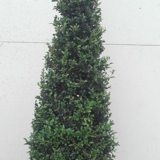 Buxus Kegel 125cm hoog