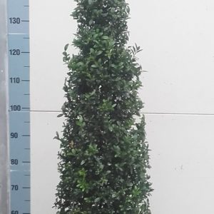Buxus Kegel 175-200cm