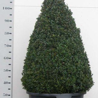 Buxus Sempervirens 100cm kegel