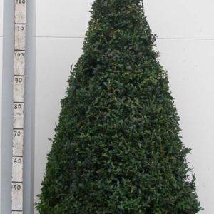 Buxus Sempervirens 110-120cm