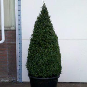 Buxus Sempervirens 130-140cm
