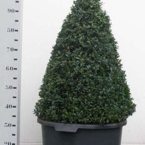 Buxus Sempervirens 80cm kegel