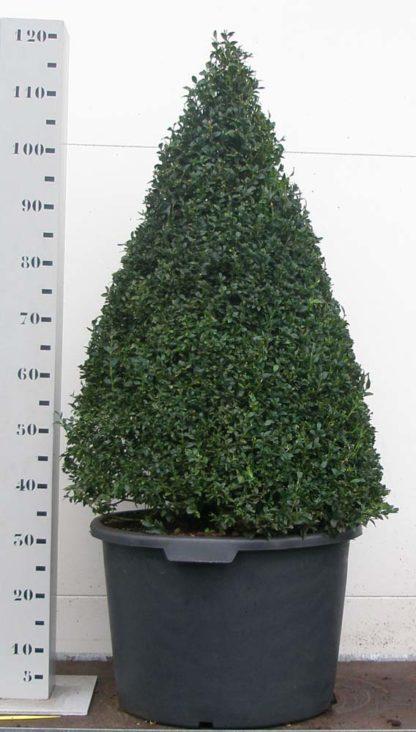 Buxus Sempervirens 90cm kegel