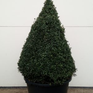 Buxus Sempervirens kegel piramide 100