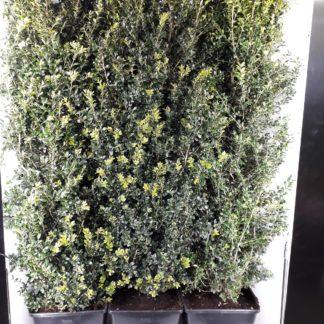 150cm hegvorm -Buxus haag kant en klaar