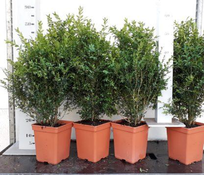 buxus semperviren 50-60cm struik